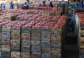 El tomate es una de las hortalizas que reflejó más pérdidas en diciembre, lo que, según expertos, se debe a un excedente en la producción. (Foto Prensa Libre: Oscar Hernández)