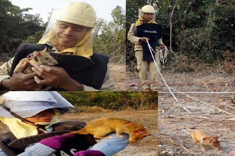 Ratas son entrenadas para buscar minas en Camboya<br />