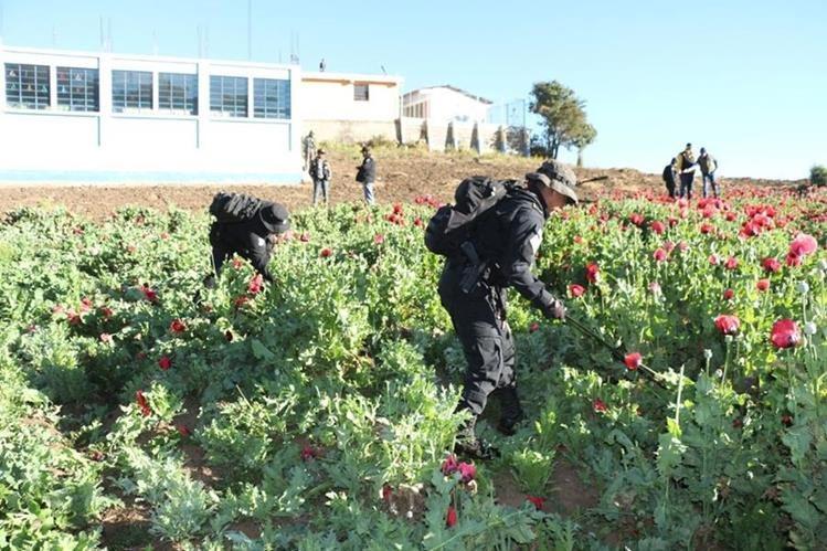 Una de las áreas donde se efectúa la erradicación de amapola en Ixchiguán. (Foto Prensa Libre: Whitmer Barrera).