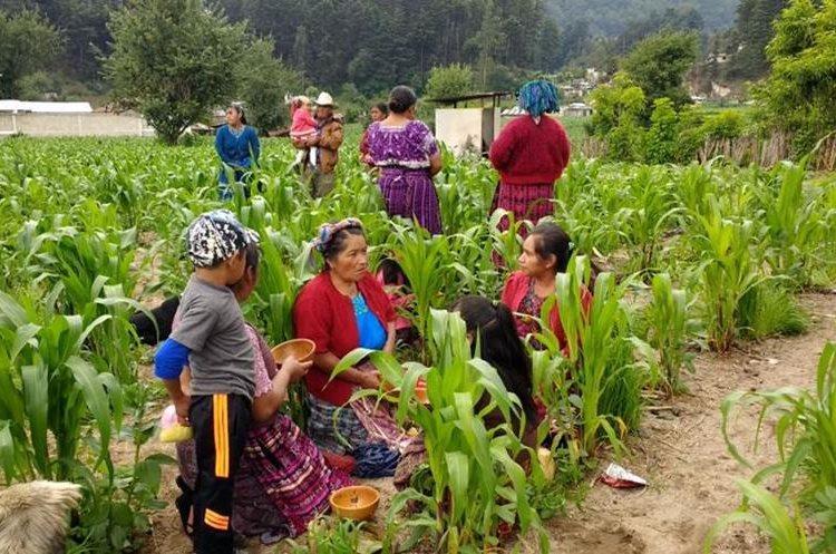 Asistentes al sepelio comen entre plantas de maíz en la aldea Los Mendoza, San Juan Ostuncalco, Quetzaltenango.