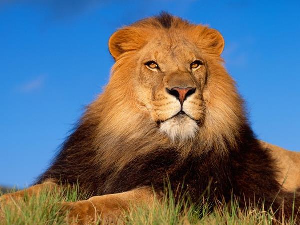 El león macho pone en peligro a los pobladores. (Foto Prensa Libre: del sitio losanimalesmehablan.com)