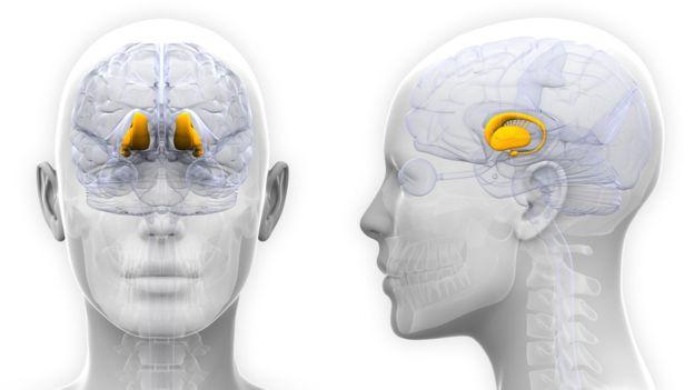 La kisspeptina se encuentra en en hipotálamo, una glándula situada en el centro del cerebro y que forma parte del sistema límbico, fundamental para regular nuestros estados de ánimo. (GETTY IMAGES)