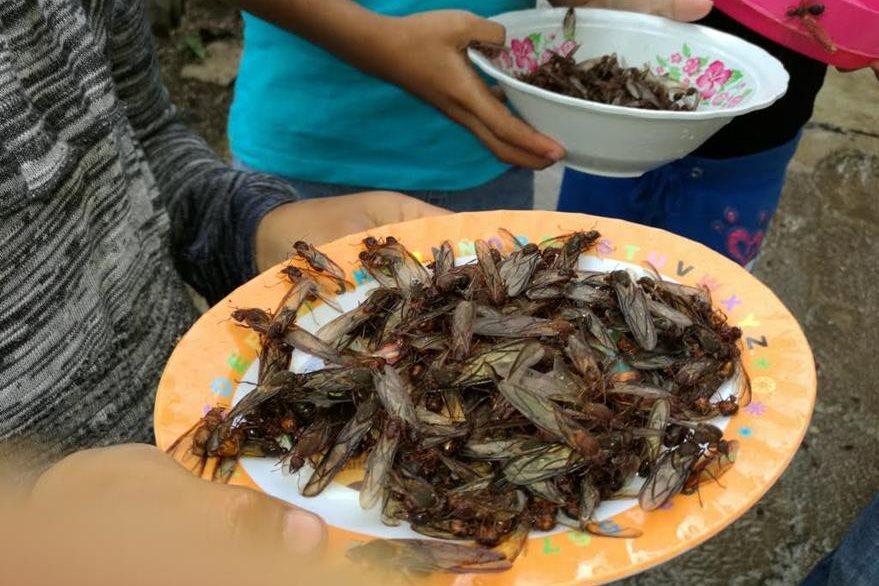Los zompopos de mayo son utilizados como alimento en varios países. (Foto Prensa Libre: Oswaldo Cardona)