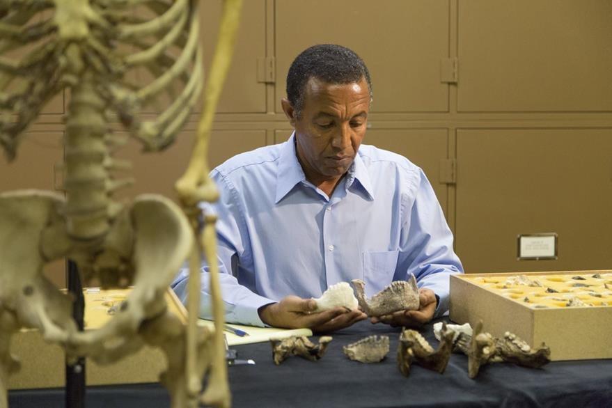 El doctor Yohannes Haile-Selasie analiza las piezas del Australopithecus deyiremeda en su laboratorio en el museo de Cleveland, EE. UU. (Foto Prensa Libre: AP).