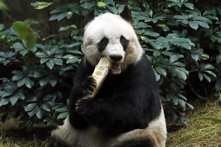 """Panda gigante """"Jia Jia"""" durante su cumpleaños. (AP)"""