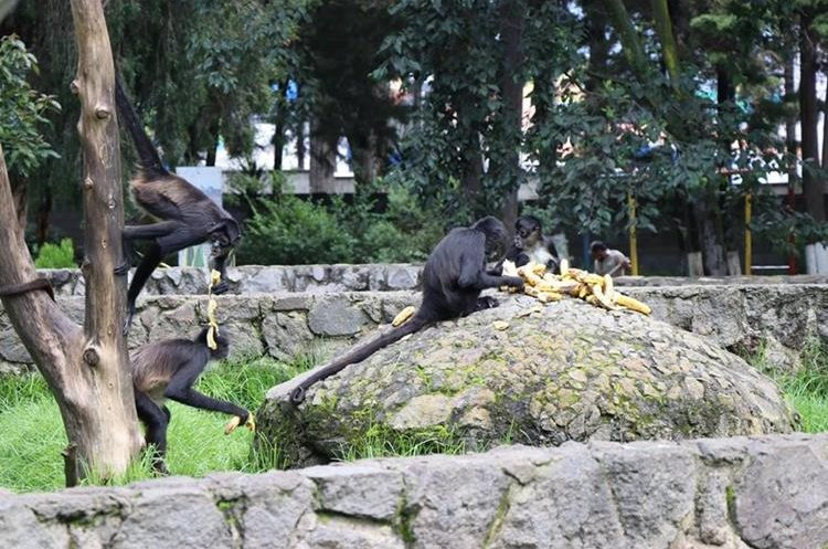 Recinto del grupo de ocho monos araña que son una de las atracciones principales del zoológico altense. (Foto Prensa Libre: María José Longo)