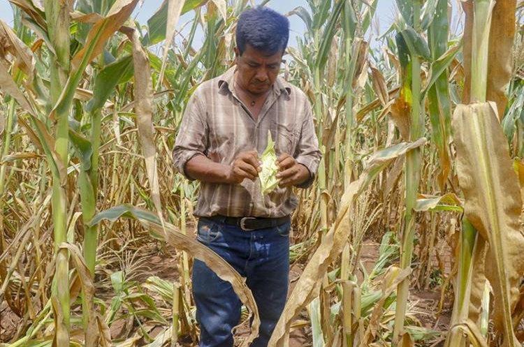 No todo el maíz que se cosecha es de calidad. La falta de humedad no permite el pleno desarrollo de las mazorcas. (Foto Prensa Libre: Hemeroteca PL)