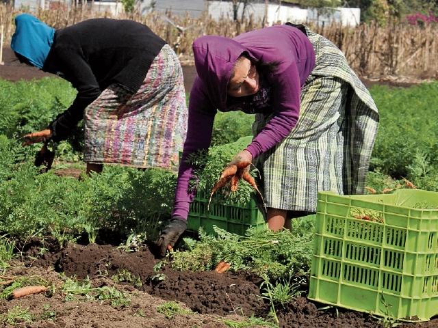 El cultivo de zanahoria es una de las labores que ocupa a   mujeres  de Chimaltenango. (Foto Prensa Libre: José Rosales)