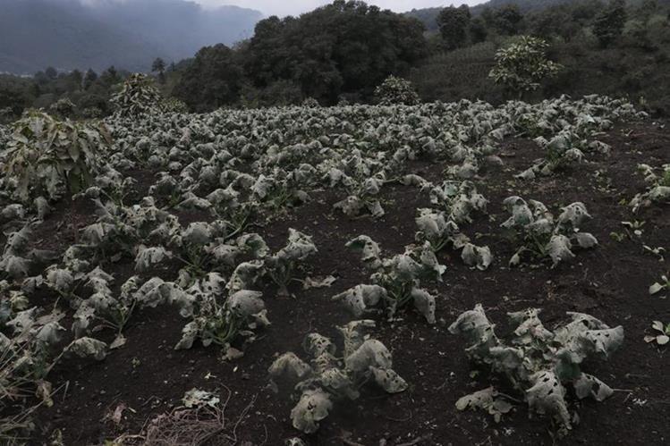Varias plantaciones de Parramos y San Pedro Yepocapa, Chimaltenango, fueron dañadas por el material volcánico. (Foto Prensa Libre: Víctor Chamalé)