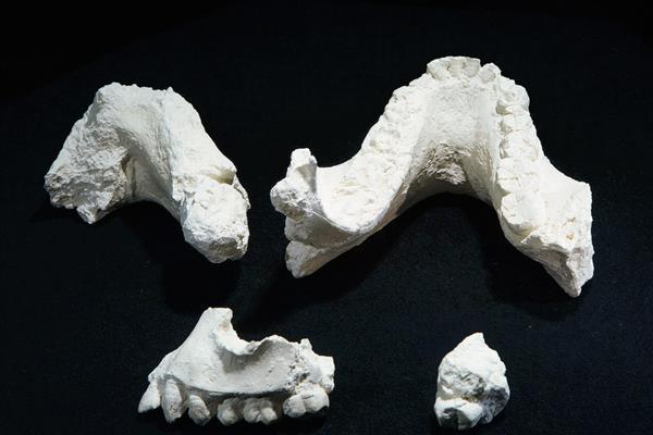 Fósiles del Australopithecus deyiremeda que fueron encontrados en Etiopía y que supondrían un escalón más en la evolución humana. (Foto Prensa Libre: AP)