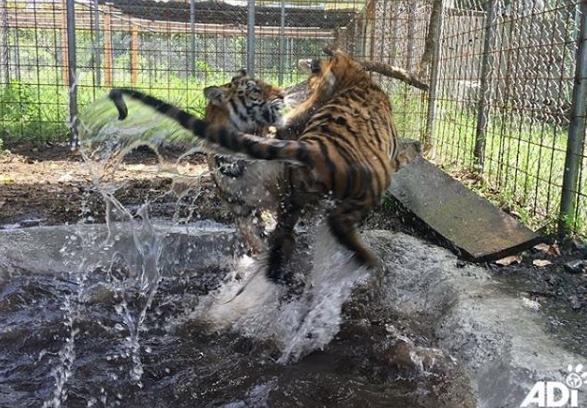 Sol y Luna, dos tigres de circo rescatados en junio pasado, juegan en su nuevo espacio en Escuintla. (Foto Prensa Libre: Cortesía ADI).