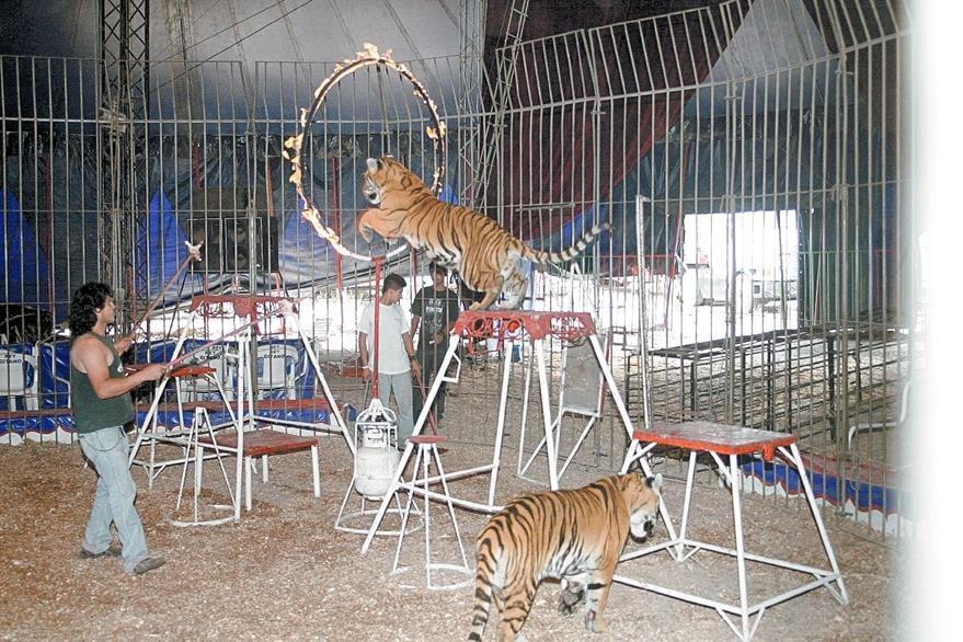 El uso de animales en circos —como en la fotografía— ha sido criticada en reiteradas ocasiones. (Foto Prensa Libre: Hemeroteca PL