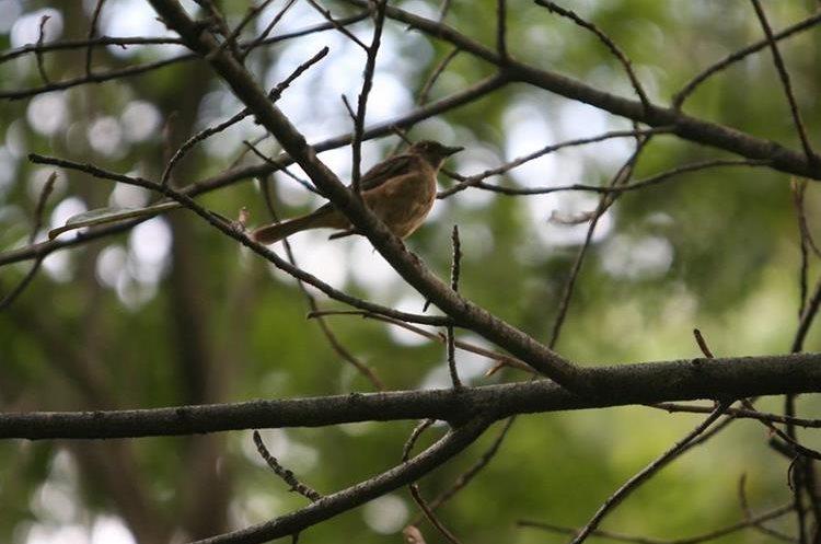 Las pequeñas aves se encuentran en los parques y barrancos del departamento de Guatemala (Foto Prensa Libre: Hemeroteca)