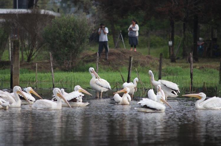 Vecinos de la zona 10 de Huehuetenango observan una de las parvadas de pelícanos que se posaron el viernes en un estanque. (Foto Prensa Libre: Mike Castillo)