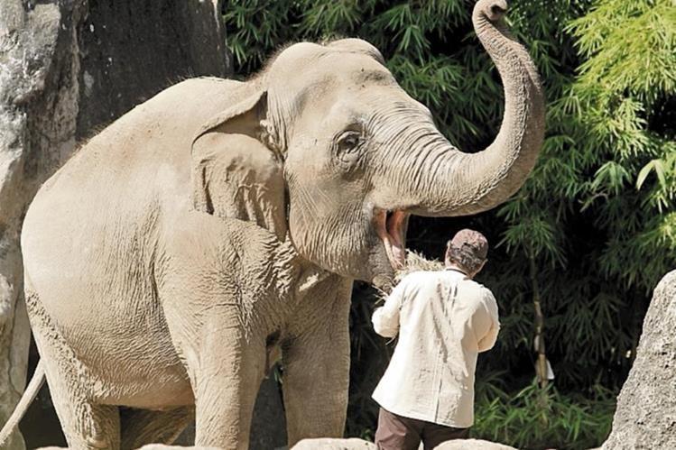 El elefante se alimenta con 300 libras de comida diarias. (Foto: Hemeroteca PL)