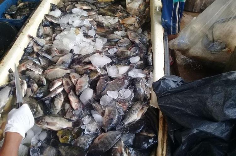 Autoridades informaron que se debe evitar el consumo del pescado para no sufrir intoxicación. (Foto Prensa Libre: Rolando Miranda)