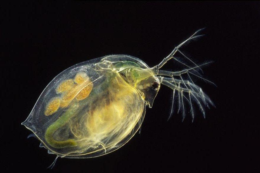 Pulga de mar Daphnia magna.