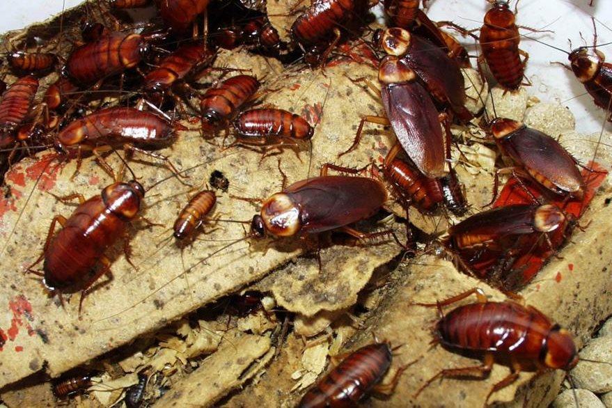 Cucarachas serán las protagonistas de una exposición. (Foto Prensa Libre: socialnewsdaily)