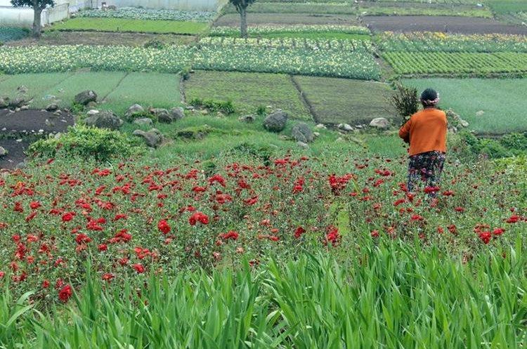 Floricultores de Zunil reportan daños en sus cultivos por la lluvia y granizo de los últimos días. (Foto Prensa Libre: Carlos Ventura)