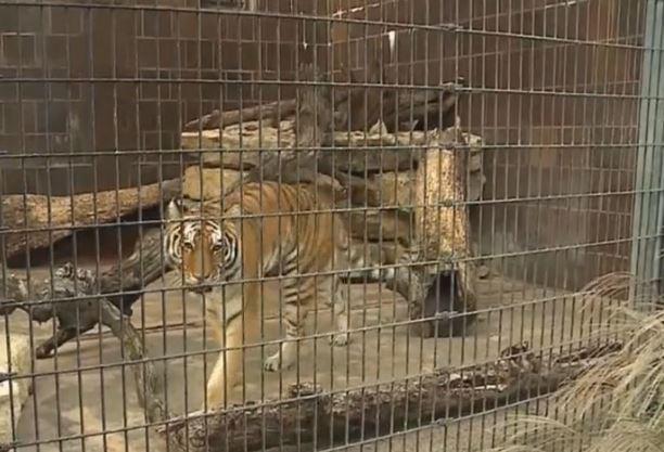 Vista de la jaula de los tigres en el zoolígico de Nebraska. (Foto: msn.com)