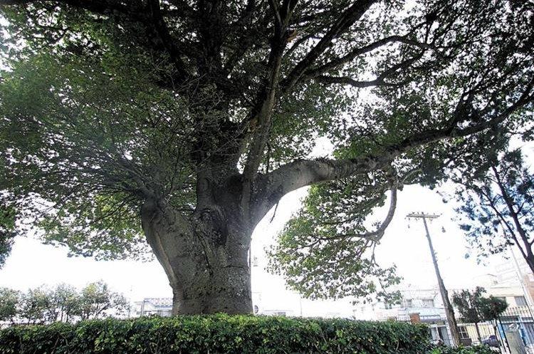 La Ceiba es el árbol nacional, sus ramas han abrigado la identidad guatemalteca desde antiguos tiempos. (Foto Prensa Libre: Hemeroteca PL)