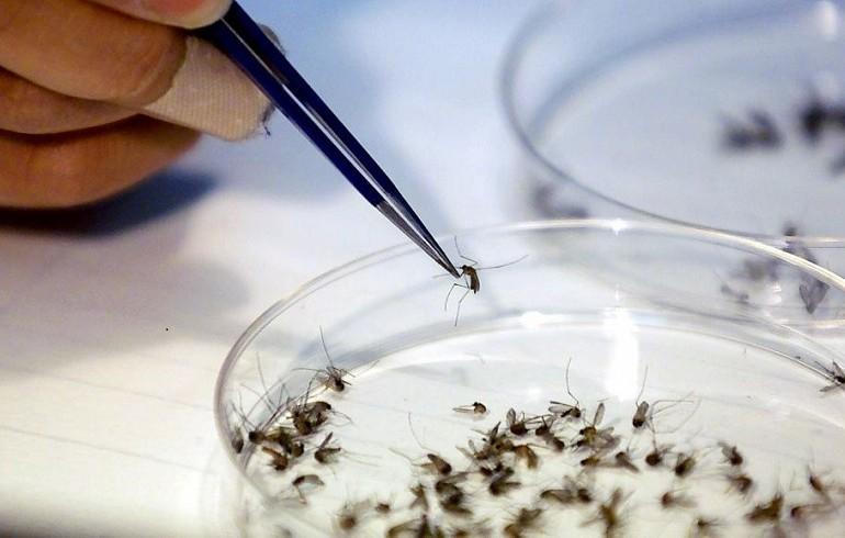 En un laboratorio de Microbiología analizan los mosquitos que transmiten el zika.(AP).