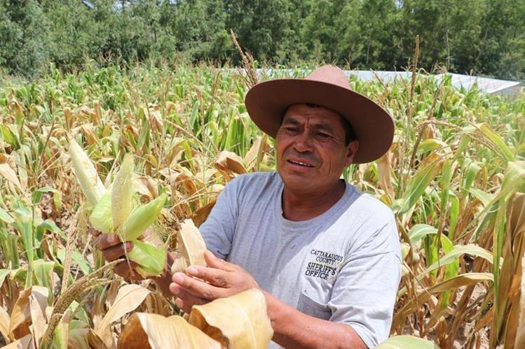 Joyabaj es el municipio de Quiché con más daños en la agricultura por la falta de lluvia. (Foto Prensa Libre: Héctor Cordero)
