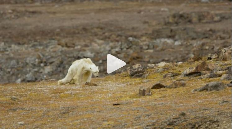 El video de un oso polar agonizando y en busca de comida conmovió al equipo de Paul Nicklen (Foto Prensa Libre: Instagram).