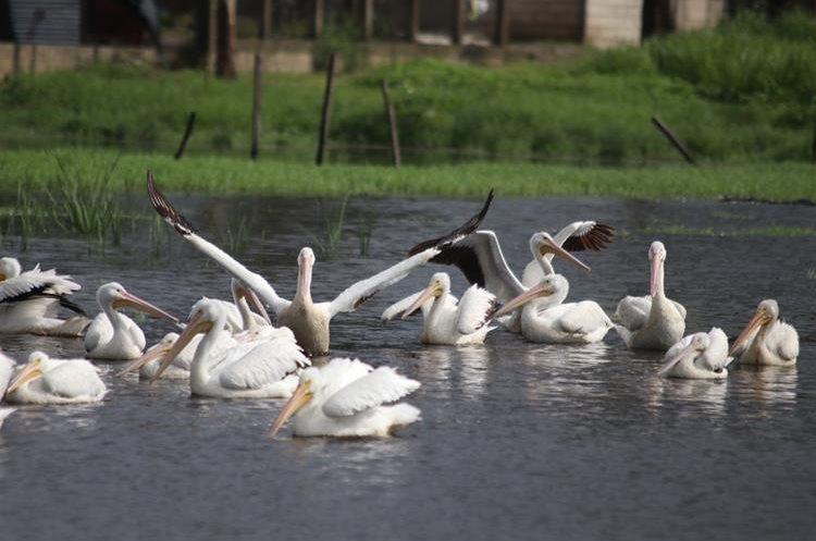 Una de las parvadas estaba formada por unos 45 pelícanos. (Foto Prensa Libre: Mike Castillo)