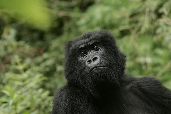 Un gorila oriental se encuentra en el Parque Nacional de los Volcanes en Ruhengeri, Ruanda. (AP)
