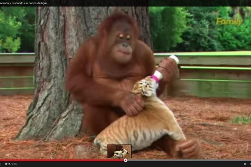 El orangután se ha ganado el cariño y admiración del público del sarafi en Carolina del Sur. (YouTube).