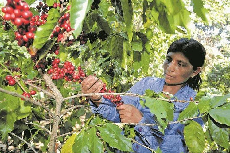 Productores de café y cacao serán vinculados a programas tecnológicos para obtener mejores cosechas.(Prensa Libre: Hemeroteca PL)
