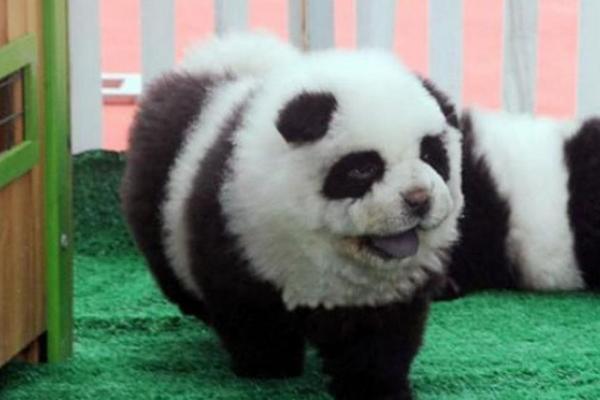 """<p>El público acudía al circo, atraídos por el cruce chow chow y panda.<br _mce_bogus=""""1""""></p>"""