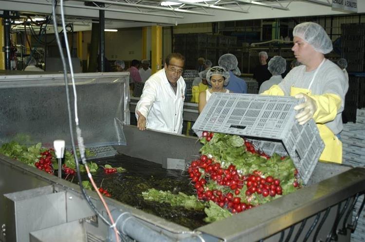 Trabajadores Guatemaltecos  participan en el Programa  Trabajadores Temporales  en Canada. (Foto Prensa Libre)