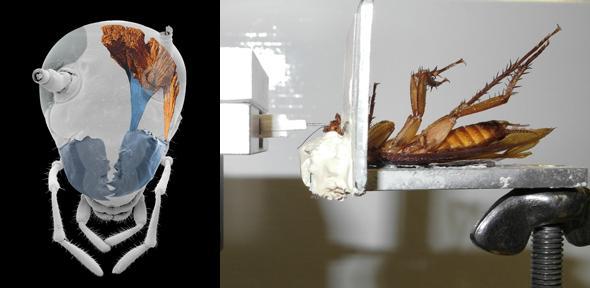 """La cucaracha """"periplaneta americana"""" tiene la fuerza de morder 50 veces más el peso de su cuerpo. (Foto tomada del sitio de la Universidad de Cambridge)"""