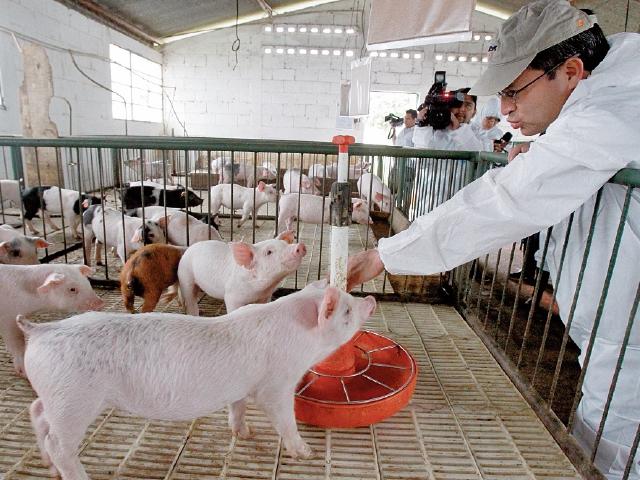 Autoridades de la región deben verificar la sanidad de las granjas de cerdo. (Foto Prensa Libre: Hemeroteca)