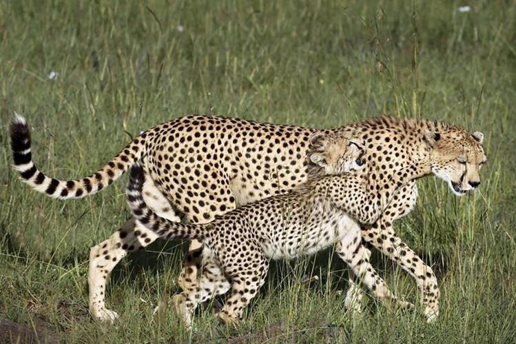 Una cría de guepardo juega con su madre en la Reserva Natural del Masái Mara, en Kenia. (Foto Prensa Libre: EFE).