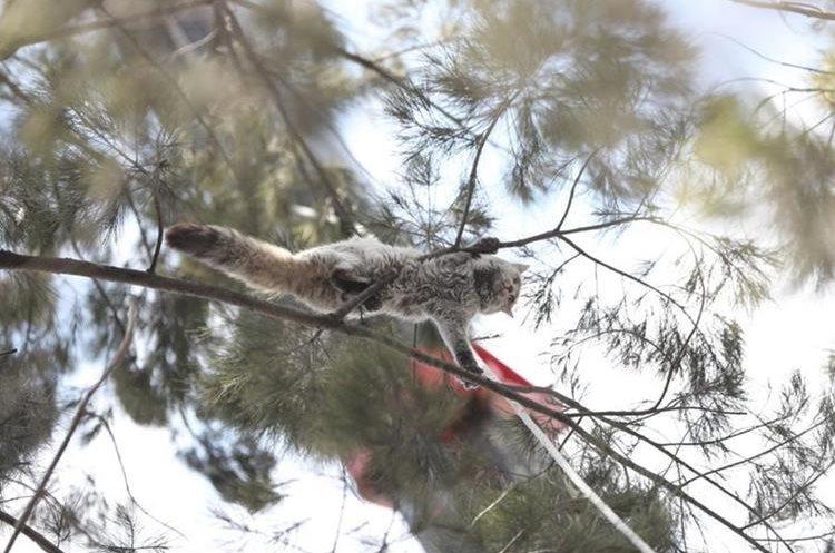 Un gato que trepó a un árbol en la zona 7 capitalina causó angustia en vecinos que llamaron a socorristas para que fuera rescatado. (Foto Prensa Libre: Érick Ávila)