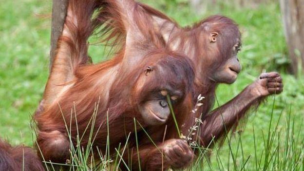 Muchos programas internacionales de reproducción de especies en cautiverio acaban en fracaso porque los individuos no se interesan el uno por el otro. (PARQUE DE PRIMATES APENHEUL)