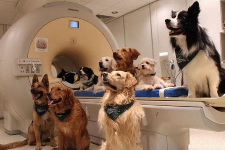 Para el estudio utilizaron 13 perros entrenados para quedarse 7 minutos quietos durante el escaneo de sus cerebros. (ENIK KUBINYI / UNIVERSIDAD EÖTVÖS LORÁND)