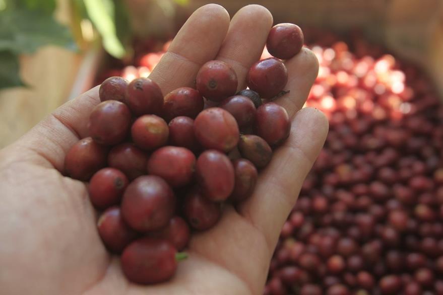 Según la altura, clima y suelo así será el sabor de los granos de café. (Foto Prensa Libre: Carlos Hernández)