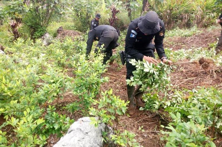 Una plantación de coca y un laboratorio para procesarla y transformarla en cocaína fue localizado por autoridades en Cobán, Alta Verapaz. (Foto Prensa Libre: PNC)