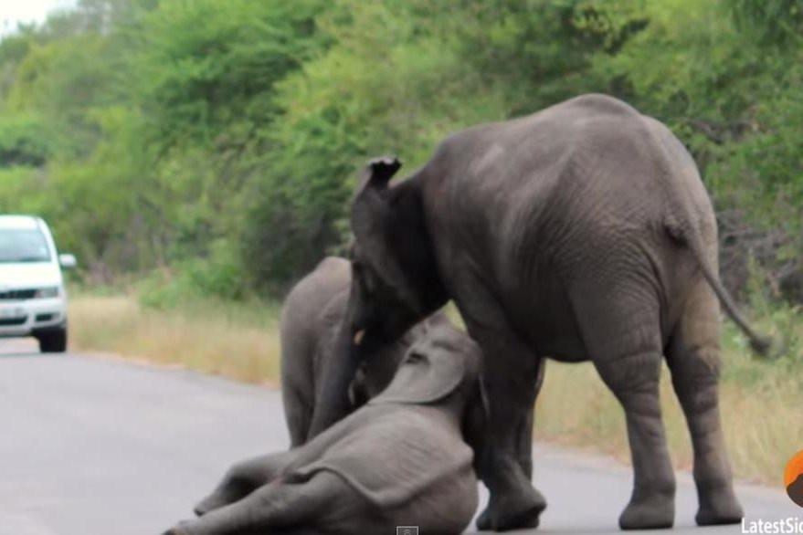 Un elefante ayuda a un cachorro a levantarse. (Foto Prensa Libre: YouTube)