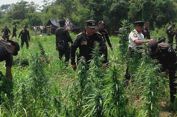 Autoridades trabajan en el área donde fueron localizadas las planta de marihuana, en Las Cruces. (Foto Prensa Libre: Walfredo Obando).