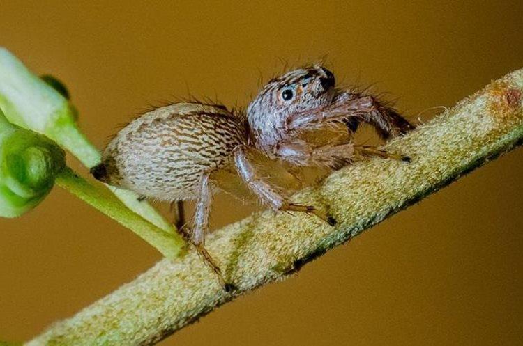 Con esa cara tan tierna resulta imposible asustarse de esta araña saltadora ¿no? ROBERT WHYTE