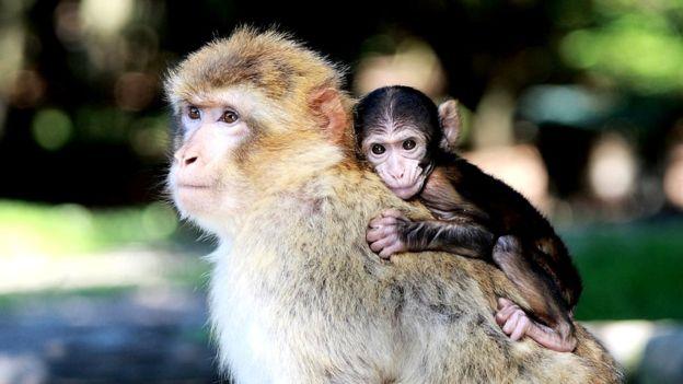 Los monos criados con sus madres reconocían las caras, los otros no. GETTY IMAGES
