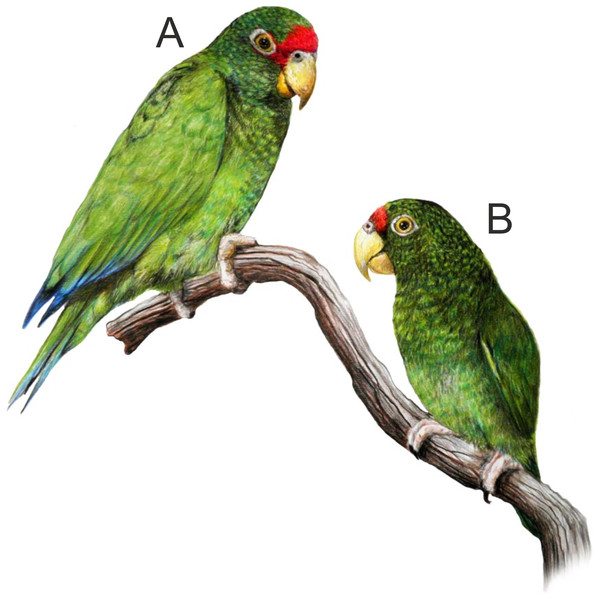 La ilustración A corresponde al loro macho y la B a la hembra. (Foto Prensa Libre: PeerJ)