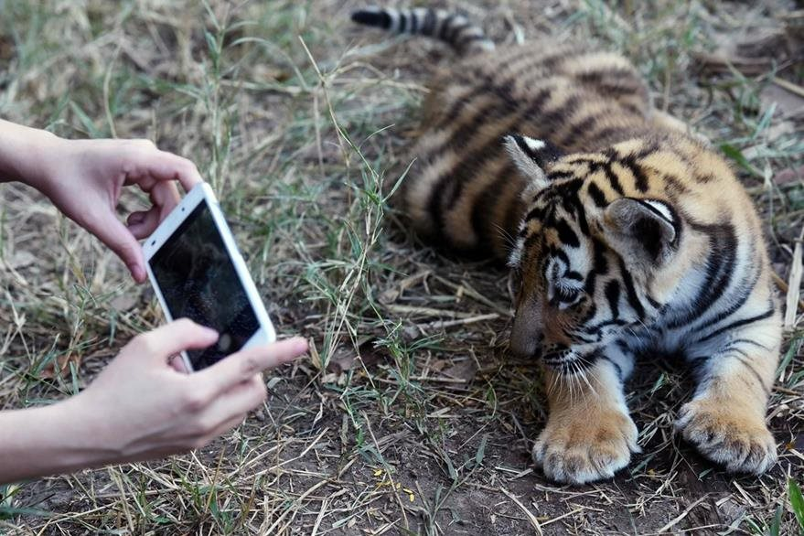 Uno del cuatro tigres de bengala es fotografiado en la Fundación de Refugio Salvaje.(AFP).
