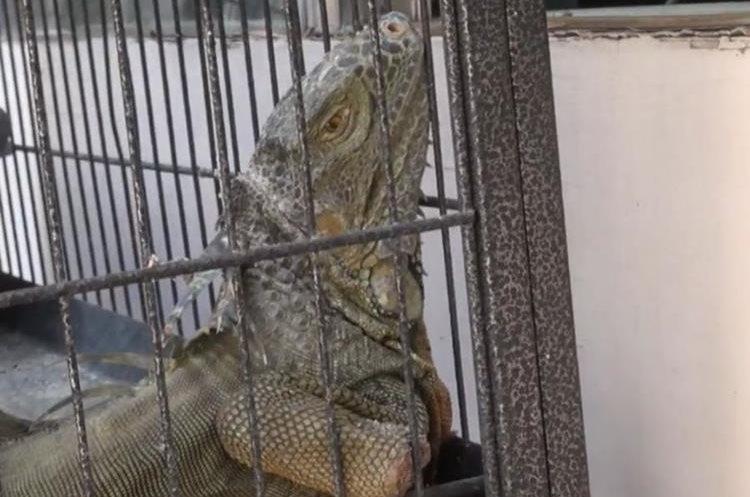 Una iguana también fue recuperada por el MARN durante un decomiso el año pasado. (Foto Prensa Libre: MARN de El Salvador)