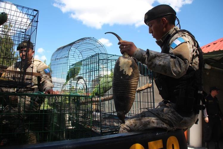 Uno de los armadillos decomisados en Huehuetenango. (Foto Prensa Libre: Mike Castillo)